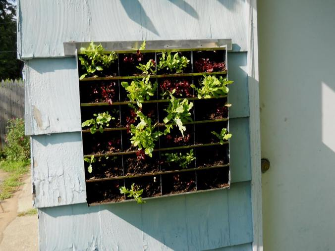 Green and red lettuce growing on a Green Living Technologies vertical panel