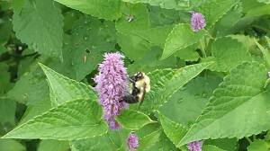Bumble Bee Finding Its Purpose in Hyssop